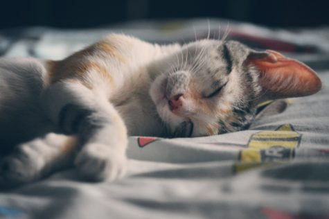 Toxic House Dust May Sicken Your Beloved Feline, Study Finds