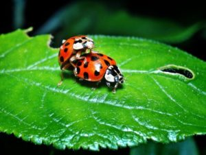 ladybugs sex