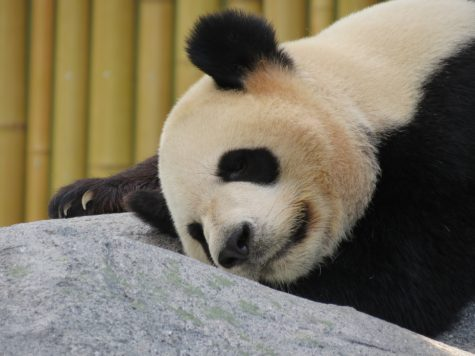 Study Reveals Why Pandas Have Black & White Fur Patterns