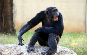 Chimp making funny face
