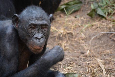 Study: Bonobos More Closely Linked To Humans Than Chimps?