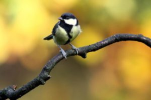 Wild great tit perched on a branch