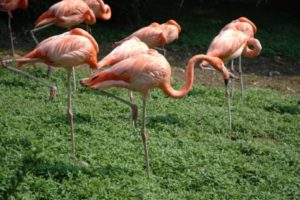 Flamingos standing on one leg