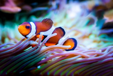 Researchers: Male Clownfish Morph Into Aggressive Females When Mates Die