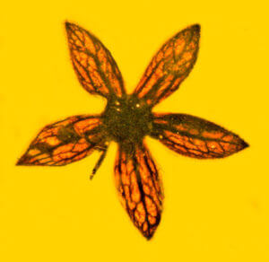 Ancient flower found fossilized in amber