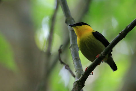 Given Testosterone, Tropical Birds Feverishly Tidy Up For Female Guests, Study Finds