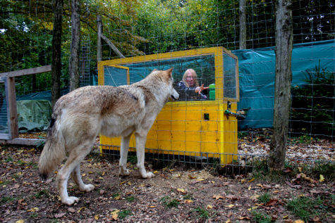 Wolves Smarter Than Dogs? Study Finds Differences in Logical Ability