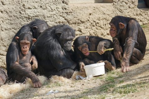 Study Shows Chimps Take Turns To Solve Complex Puzzle