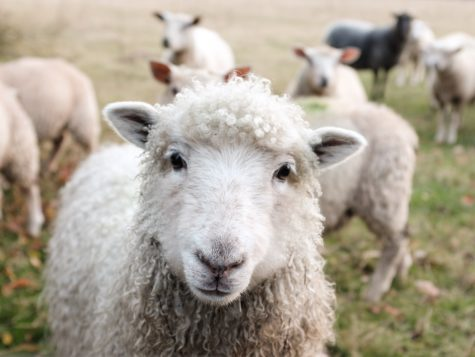 Study Shows Sheep Recognize Human Faces In Photographs