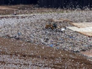 Seagulls at landfill