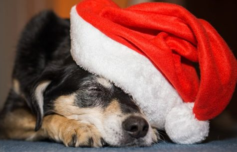 Holiday Warning: Dogs Poisoned By Chocolate Most Often On Christmas, Study Finds