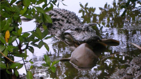 Predator vs. Predator: New Study Finds Alligators Eat Sharks