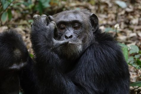 Chimpanzees Are Born With Ability To Use Tools, Study Finds