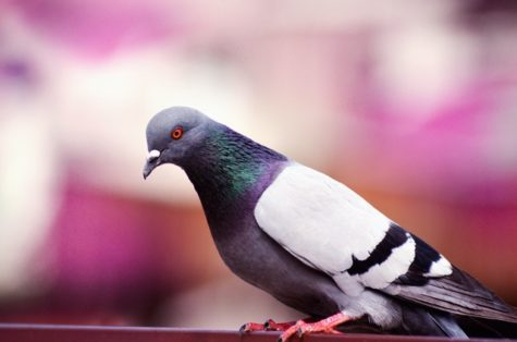 Mighty Bird Brains: Study Finds Pigeons Better Multitaskers Than Humans