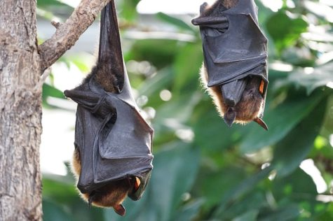 Study: Bats Learn Language 'Dialects' From Nestmates Early In Life