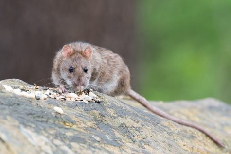Study: Rats Better At Detecting Tuberculosis In Children Than Standard Test