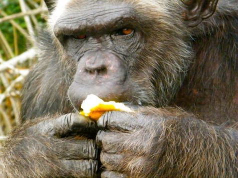 Chimpanzee eating an orange