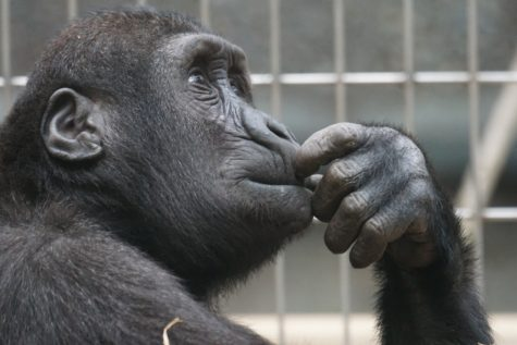 Chimpanzees Can Play Rock-Paper-Scissors As Well As A Human Child