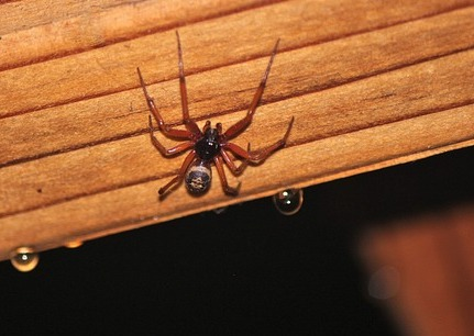 Brown widow spider