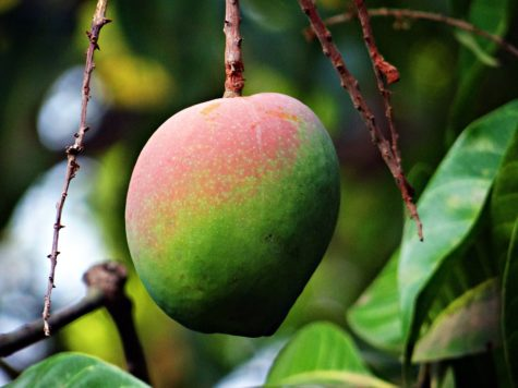 Belly's Best Friend: Mangoes Prevent Constipation, Improve Gut Health