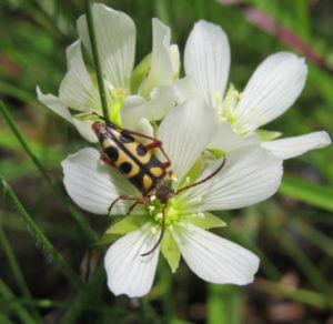 Flower beetle on a Venus flytrap.