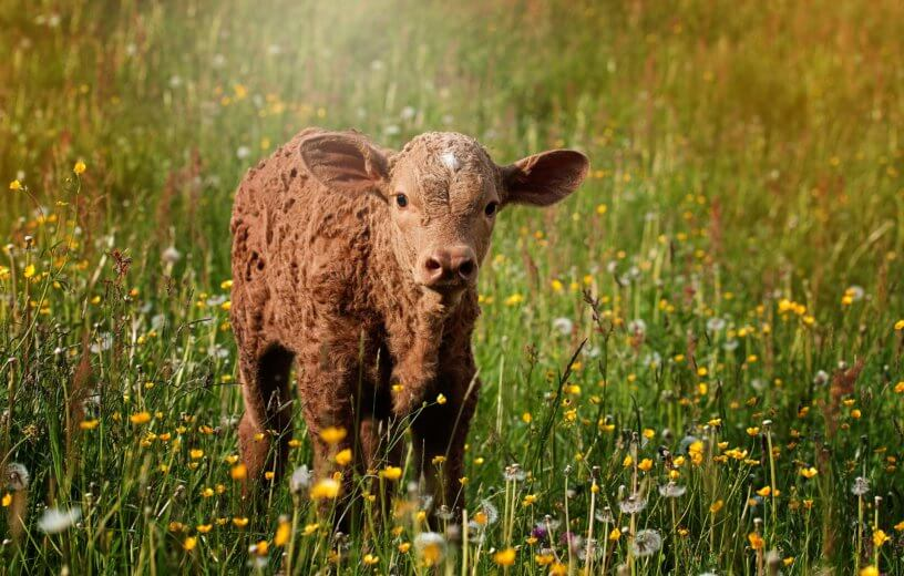 Calf standing in a field