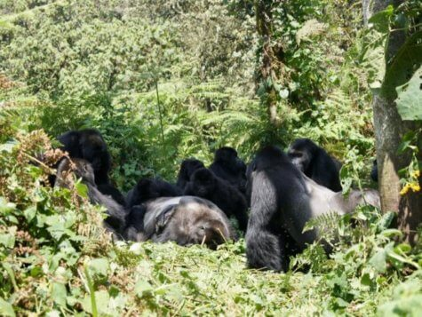 A Grauer's gorilla group gathers around the body of a male gorilla