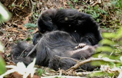 A juvenile mountain gorilla inspects the body of his mother for several hours a