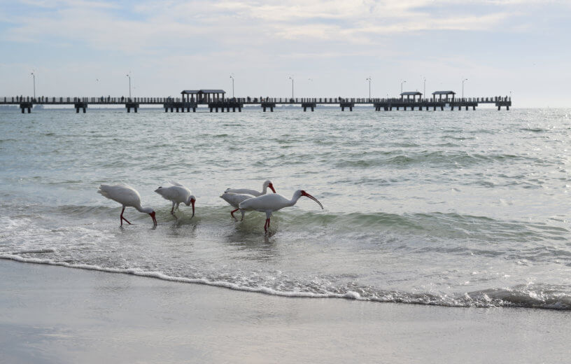 Shore birds on beach shoreline with pier in background in Florida.