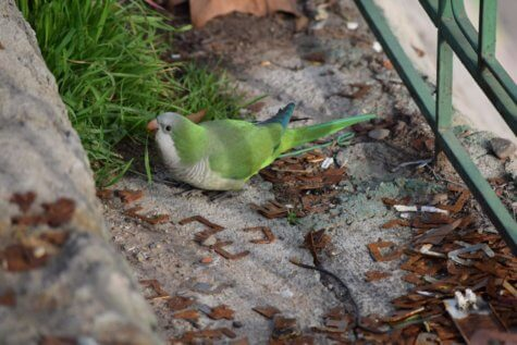 Monk parakeet in Hyde Park, Chicago.