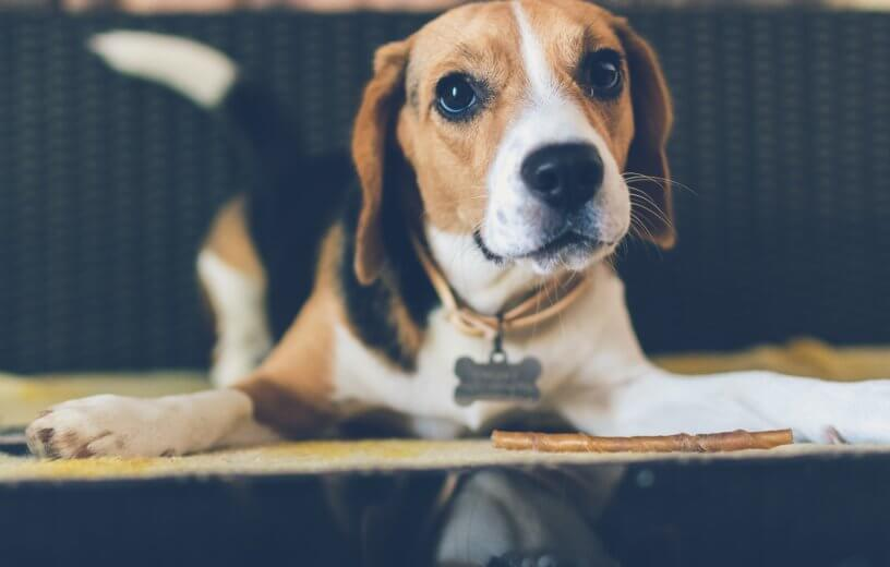 Study: Dogs Detect Lung Cancer In Blood With Stunning 97% Accuracy
