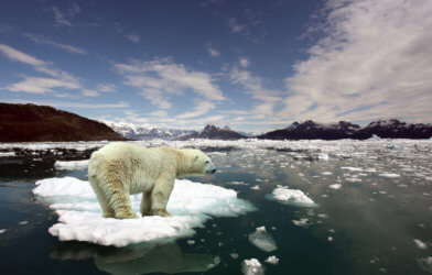 Climate change effects: Polar bear stranded on small ice patch