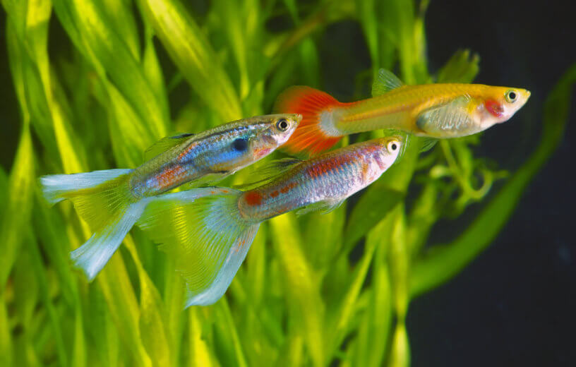 Guppies swimming