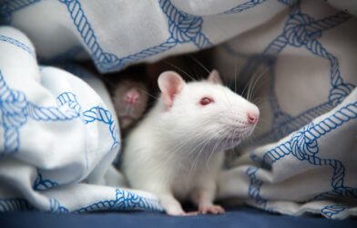 Two pet rats hiding