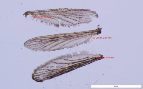 Mosquito wing legnth