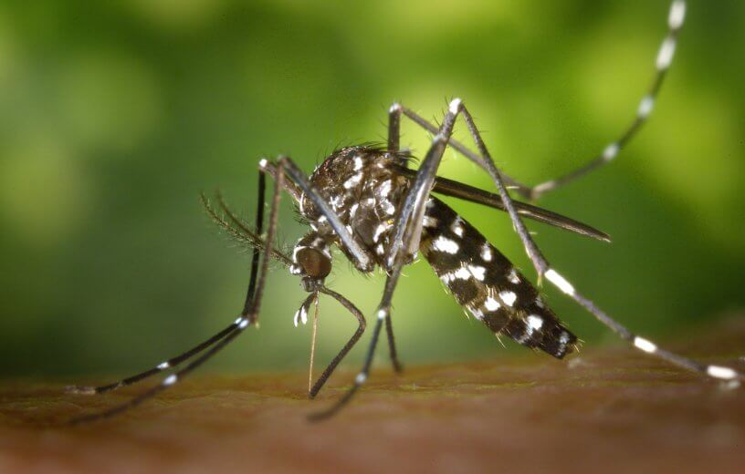 Tiger mosquito