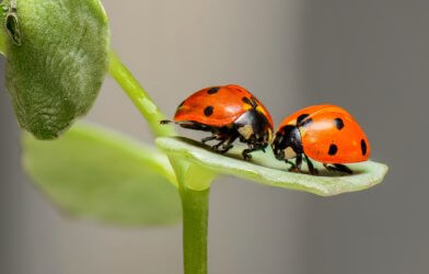 Insect love: pair of ladybugs on a green leaf