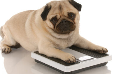 Overweight dog on scalel