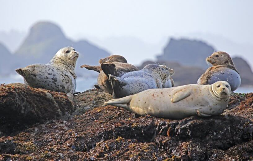 Grey seals ashore