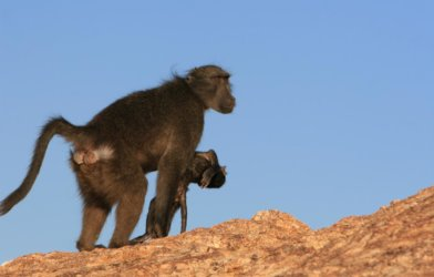 Baboon carrying dead baby