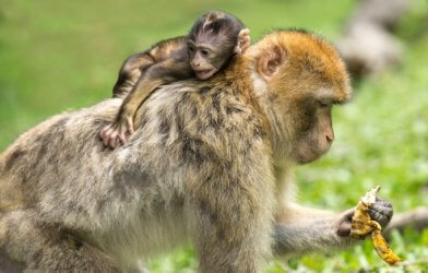 Barbary macaque with baby