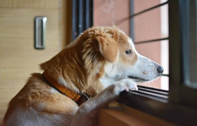 Dog looking out window