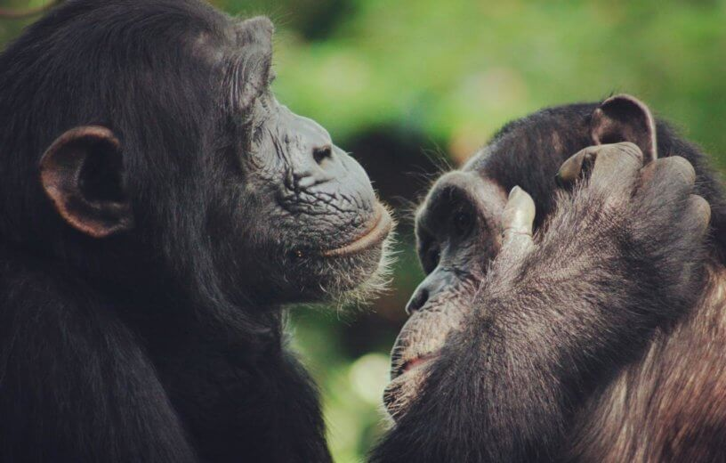 Chimpanzees grooming each other