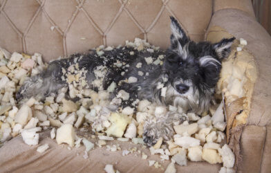 Dog chewing up sofa
