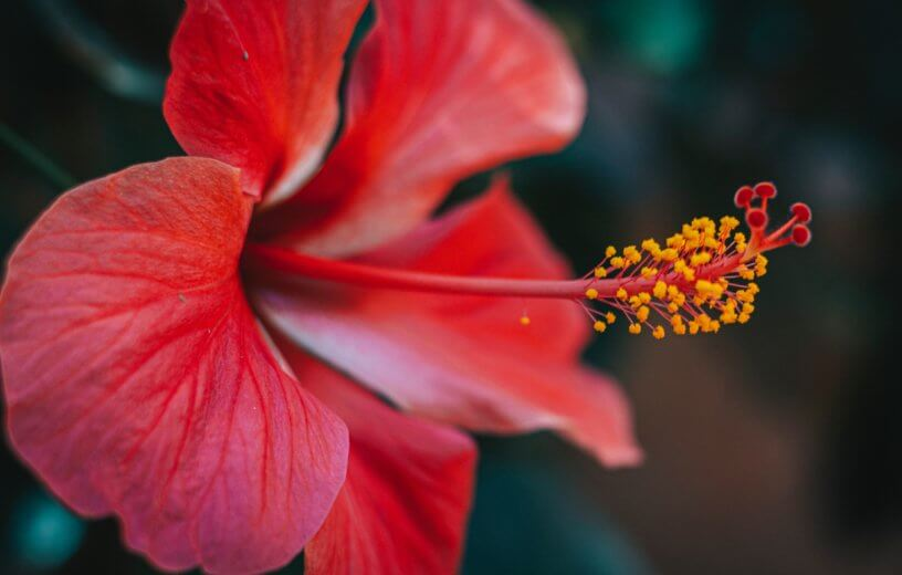 Red hibiscus in bloom, pollen on flower