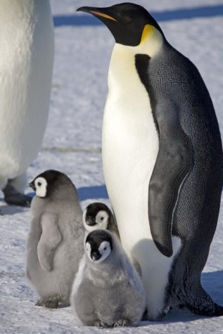 Adult emperor penguin with chicks