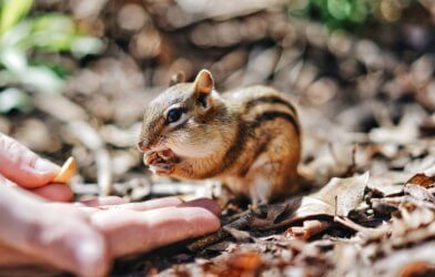Chipmunk being fed by a human
