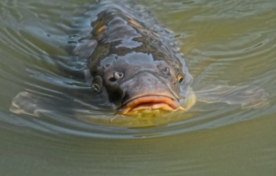 Carp fish swimming