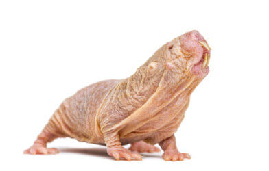 Naked mole-rat