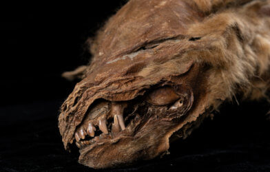 Wolf Mummy Unearthed